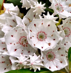 Of Bees and Chopsticks. Kalmia latifolia - Mountain Laurel, Geumgang Botanical Garden, Busan, South Korea (Rana Pipiens) Tags: niagarafalls bees chopsticks poison mountainlaurel naturesfinest kalmialatifolia fantasticflower caroluslinnaeus ishflickr clidemiahirta pehrkalm geumgangbotanicalgardenbusansouthkorea