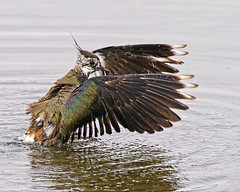 Its that way Kay (Andrew Haynes Wildlife Images) Tags: bird nature water wings wildlife feathers wash warwickshire brandonmarsh canon7d ajh2008