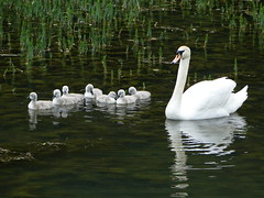 DSC03873 (beech22) Tags: lake bird water swan bath sony cygnet nationaltrust muteswan priorparklandscapegarden dschx1