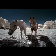 Horses IR (maxelmann) Tags: horses horse germany ir 350d leipzig infrared eos350d pferd 1022 10mm infrarot colourinfrared efs1022 channelshifting taucha kanaltausch woodeffekt 700nm maxelmann infrarotfotografie modifiedeos350d fabrinfrarot