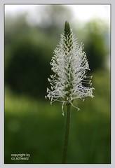 Wiesenblume (Jungchen38) Tags: flower nature energie natur pflanze sonne strom wiesenpflanze elektrik wiesenblume