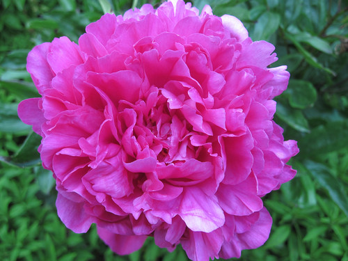 "Peony ""Rose Marie"""