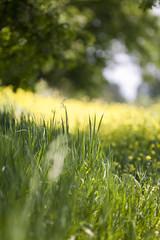 Yellow field, Sonnar edition (mckenziemedia) Tags: flowers blur field yellow zeiss canon eos bokeh 5d 28 pentacon f28 180mm czj stevemckenzie mckenziemedia 15000refrigeratorscom
