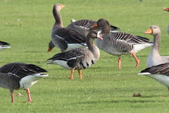 White Fronted Goose (Greater) (Andy_Hartley) Tags: uk england bird nature birds animals europe wildlife warwickshire brandonmarsh canon450d sigma150500