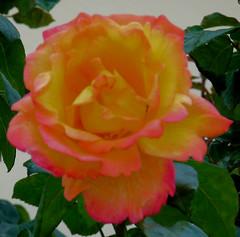 Geel-roze roos (megegj)) Tags: flower rose garden blumen roos tuin garten bloemen gert bloem wonderfulworldofflowers