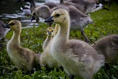 Goslings (007Ben) Tags: park baby oregon geese baker fuzzy fluffy eugene gosling alton brids
