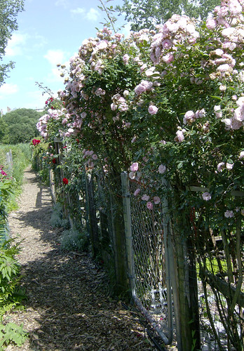 side path with roses