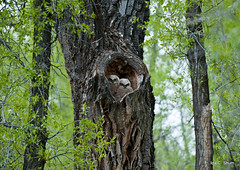 A Place to Call Home (idashum) Tags: tree bird home birds nationalpark nikon nest jackson explore raptor cottonwood owl wyoming ida grandteton raptors owls shum birdsofprey grandtetonnationalpark greathorned burrow owlet greathornedowls explored owlets idashum dcpt10