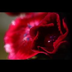 twinkle (LL) Tags: light macro wet wednesday happy bokeh william drop sweetwilliam makro bartnelke ellensteiof