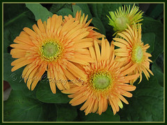 Gerbera jamesonii - orange rays with greenish central disk