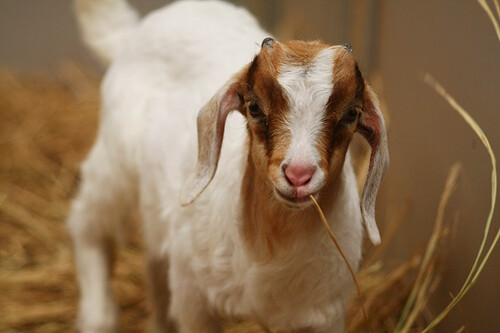 Recent Goat Rescue
