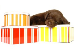 puppy 12.6.10 indie 011 (caz gordon,) Tags: dog pet black cute animal puppy nikon labrador sweet chocolate blueeyes adorable litter whitebackground 5weeks puppys puppyeyes
