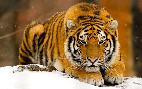 animal wallpaper tiger. Tiger Wallpapers and