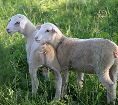 Dorper-x lambs