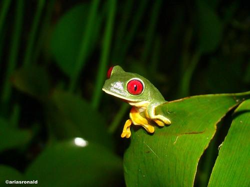 Rana de hoja de ojos rojos