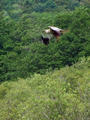 Marsh Harrier(M) (RicheRifkind - EarthCaust Photography) Tags: uk macro male bird nature flying fuji wildlife hunting flight lancashire marsh birdofprey harrier rspb leightonmoss s100fs