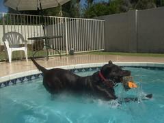 (ashleydh0523097) Tags: dog pool jump lab labrador hunter splash chocolatelabrador