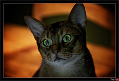 Day 171 - It's seriously past dinner time.... (Free 2 Be) Tags: pets cat nikon photoaday loki 365 abyssinian aby d300 project365 365challenge thechallengegame challengegamewinner 365community pregamechallenge