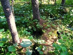Minerotrophic Tamarack Swamp (musicloveranthony) Tags: minnesota swamp larixlaricina tamarackswamp tamarackbog departmentofnaturalresources minnesotadnr