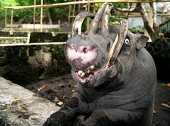 Babirusa (cowyeow) Tags: pet cute strange smile indonesia zoo pig weird funny hell horns evil sulawesi manado satanic fromhell funnyanimal babirusa tongkoko naemundung