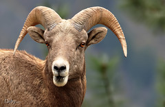 Fire in those Eyes (Deby Dixon) Tags: nature outdoors photography nikon montana dof sheep wildlife ram deby allrightsreserved 2010 bighornsheep thompsonfalls amazingeyes naturephotographer specanimal debydixon debydixonphotography