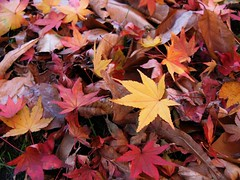 One more puzzle (langkawi) Tags: leaves herbstlaub fall maple ahorn autumn herbst blätter color farben gelb rot braun yellow red brown puzzle langkawi naturesfinest afhht amberbaum sweetgum