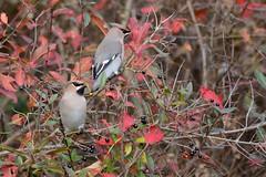 HNS_0975 Pestvogel : Jaseur boreal : Bombycilla garrulus : Seidenschwanz : Bohemian Waxwing