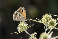 Amaryllis de Vallantin (Pyronia cecilia) (mhyrdin) Tags: butterflies papillons rhopalocères laclape aude