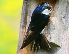 tree swallow male at Decorah Prairie IA 854A5530 (lreis_naturalist) Tags: tree swallow male nest box decorah prairie winneshiek county iowa larry reis