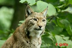 Eurasischer Luchs (Geralds-Raubtiere) Tags: eurasischerluchs zooduisburg