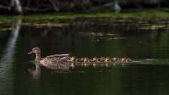 LateEight (jmishefske) Tags: greenfield nikon d500 mallard milwaukee pond ducklings 2017 lagoon westallis wisconsin brood july park family chicks county hen