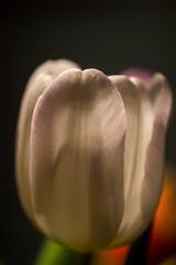 Tulip , (jwzw@ymail.com) Tags: color nature flower abstract summer beautiful bright leaf elegant love art dark still life blur flora tulip romance delicate