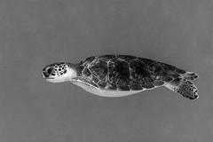 Green Turtle_Something Special_June 2017 (R13X) Tags: bonaire underwaterphotography underwatermacrophotography scubadiving diving denlaman dutchcaribbean dutchislands shorediving nikon nikon105mm nikon60mm d7200 greenturtle turtle barireef somethingspecial saltpier torisreef