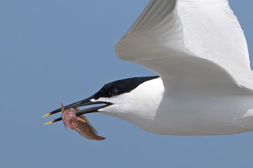 Sandwich Tern - Cemlyn