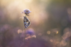 Pole dance (donlope1) Tags: macro nature light flower papillon butterfly demideuil insect sunrise morning sun bokeh dof proxy proxi macrodreams