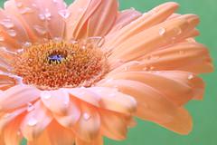 Oasis (alideniese) Tags: macro closeup bokeh flower gerbera water waterdrop droplet colour pink green flora 7dwf petal stamens