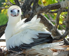 Red-Footed Booby {sula sula}