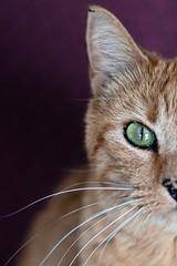 Cat (victoria.anne) Tags: red orange canada black green cat purple kitty spot manitoba whiskers greeneyes ish spots meow mb deloraine andgrandma wheremyauntandunclelive thiscatlivesinmygrandmasoldfolkshome itsoneoftheotherladiescat hewasquitefriendly