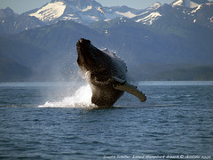 Humpback Breach (Gillfoto) Tags: alaska juneau whale humpback littlestories cotcmostfavorited flickrsbest theunforgettablepictures thebestofday picswithsoul gününeni̇yisi