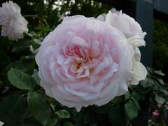 Emilys Rose