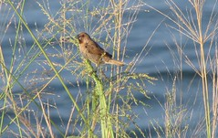 Small brown seed eating bird (The_Gut) Tags: ocean wild bird grass hawaii flickr seed maui scalybreastedmunia nutmegmannikin lonchurapunctulata spicefinch