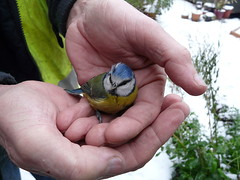 Blue Tit in trouble (sam2cents) Tags: life ireland winter rescue snow cold colour cute bird ice nature beauty interesting hands warm feeding wildlife ill wicklow ornithology survival metabolism conditions naturesfinest coldsnap abigfave bluetitparuscaeruleus anawesomeshot