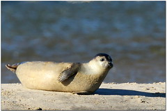 Not a sparrow but... (Wolfgang Wander) Tags: gimp longisland seal harborseal cupsogue animalkingdomelite wwcsig