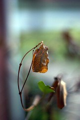 Winter Leaf (dbkfrog) Tags: pentax m42 supertakumar k10d pentaxk10d takumar50mmf14