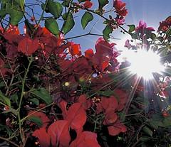 Light through the Flowers (d.r.garvin) Tags: flowers red sunshine nikon bougainvillea lamesa sunburst