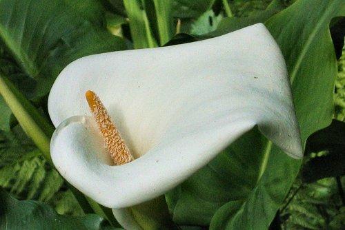 Zantedeschia aethiopica (rq) - 01