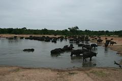 Down at the watering hole (lourobbo) Tags: southafrica capebuffalo timbavati tandatula