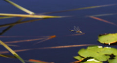 Tau Emerald Dragonfly in flight. (Clement Tang ** busy **) Tags: summer nature insect inflight pond waterlily dragonfly wildlife australia victoria nationalgeographic odonata insecta anisoptera healsville closetonature tarrawarraestate concordians tauemerald epiproctophora