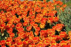 Tulpe 3525 (Chironius) Tags: flowers orange flower rot fleur blossom flor blossoms tulip fiore blte tulipa tulpen tulpe liliaceae  liliales  liliengewchse lilienartige lilioideae naturagartibbenbren