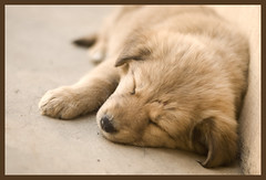 Zzzzz...nap time! (Amar Jain) Tags: sleeping brown cute puppy sleep saturday bits jain amar